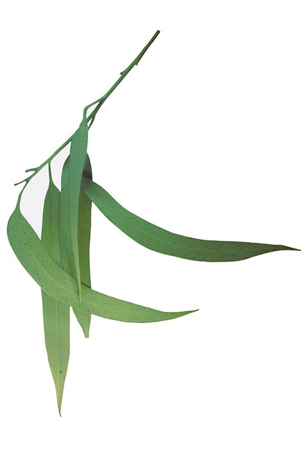ulei esențial de eucalipt citronat doterra