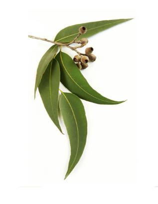 utilizările uleiului esențial de eucalipt