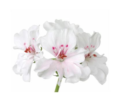 utilizările uleiului esențial de geranium